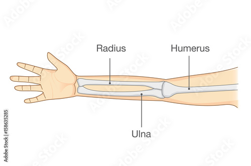Anatomy of normal arm bone Canvas Print