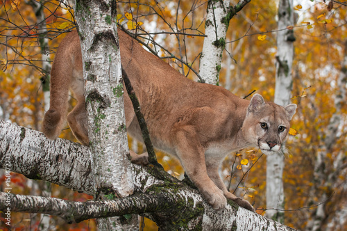 Poster Puma Adult Male Cougar (Puma concolor) Crouches in Trees