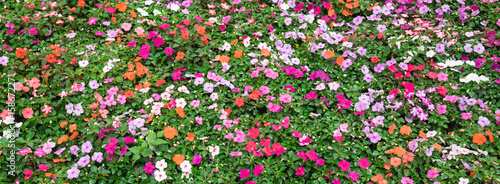Top view a colorful flowerbed with verity of impatiens/balsaminaceae tropical flower such as walleriana, busy lizzie, balsam, garden balsam, zanzibar, patience plant, patient lucy Canvas Print