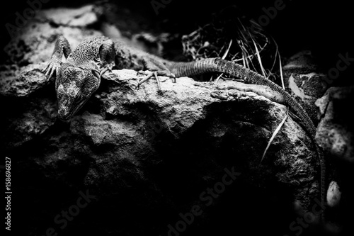 Photo jewelled lizard - timon lepidus - black and white animals portraits