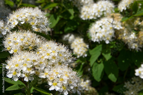Valokuva  Bush spirea flowers close-up, white.