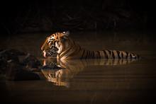 Bengal Tiger Drinking In Shado...