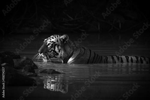 Plakaty tygrys w wodzie