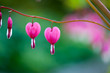 Leinwandbild Motiv Bleeding heart