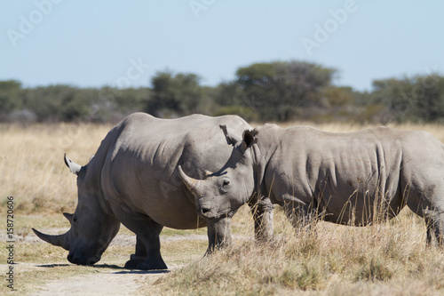 Poster Afrique white rhinos in the rhino sanctuary in botswana