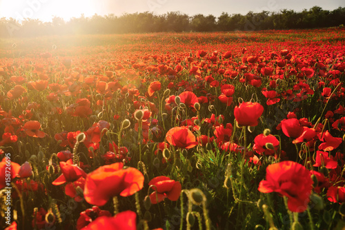 Fotobehang Poppy Blooming field of red poppies in the rays of sunset