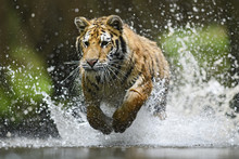 Siberian Tiger Hunting In The ...