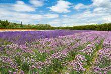 Flower Field Under Cloud Sky, ...