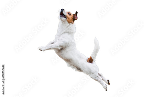 Poster Chien Terrier dog isolated on white jumping and flying high