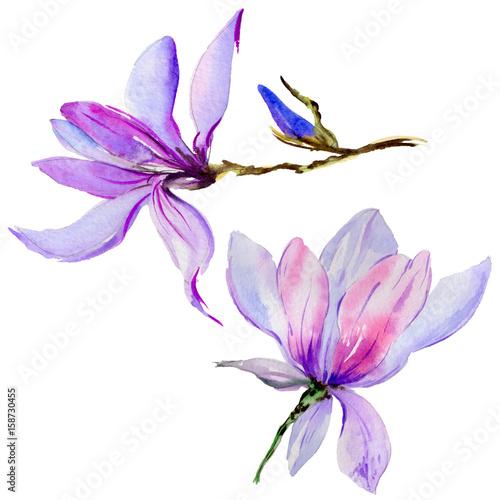 Plakat Wildflower magnolia kwiat w stylu przypominającym akwarele na białym tle.