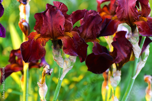 Foto auf AluDibond Iris Beautiful floral background. Amazing view of the bright red iris blooming in the garden in the middle of a sunny summer spring day with green grass.