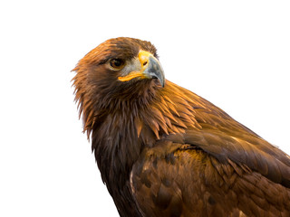 Closeup of beautiful Golden Eagle isolated on white background. Clipping path included.