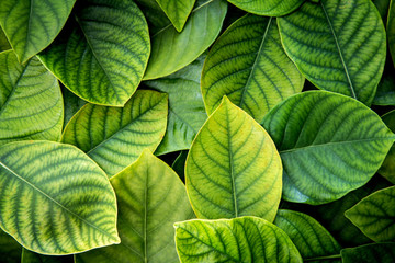the Fresh tropical Green leaves background