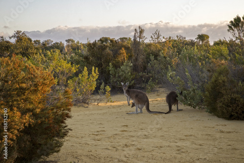 Fotografie, Obraz  Red Kangaroo Family feeding at the bush in twilight – Western Australia