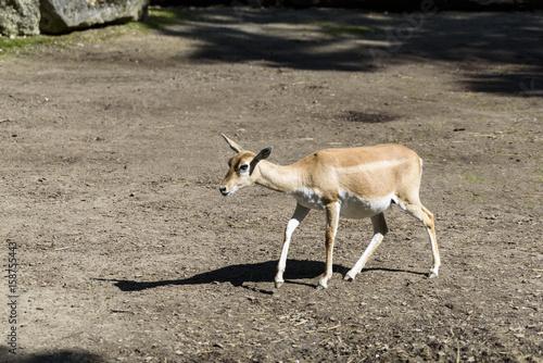 Fotobehang Ree Antilope