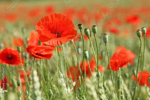 Fototapety, obrazy: Coquelicots dans un champ de blé