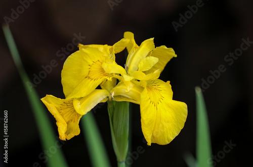 Poster Iris Wasserlilie gelbe Sumpf-Schwertlilie (Iris pseudacorus)