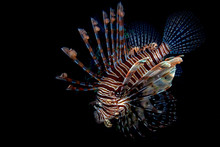 Scorpion Lion Fish Portrait Wh...