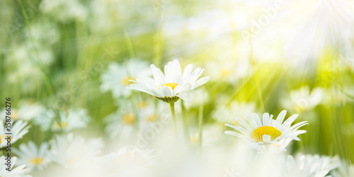 Staande foto Madeliefjes Margeriten vom Sonnenlicht angestrahlt