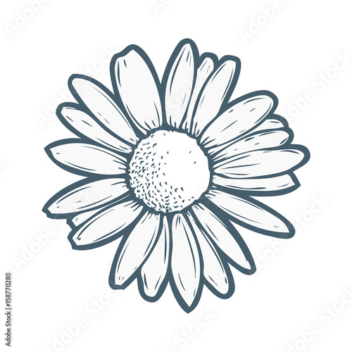 Chamomile, camomile flower floral hand drawn engraving vector illustration Fototapet