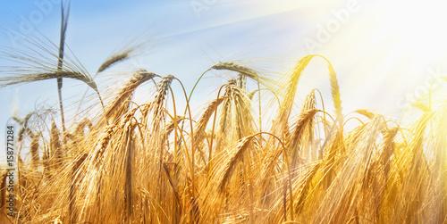 Fotobehang Aan het plafond barley field background