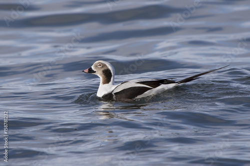 Male long-tailed duck who swims on the waves of the ocean near the shore Canvas Print