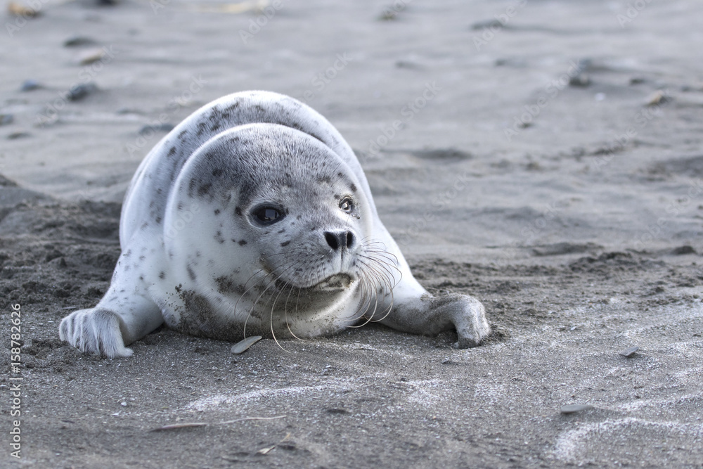Puppy spotted seal which lies on a sandy beach on the ocean