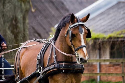 Portrait of horse pulling carriage in summer