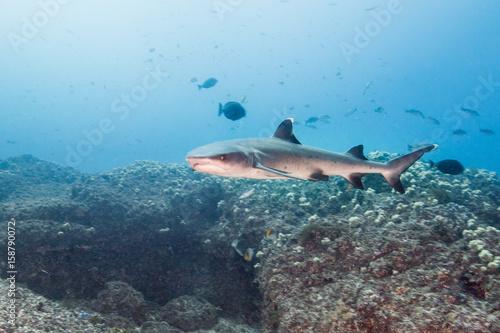 Staande foto Dolfijnen white tip reef shark