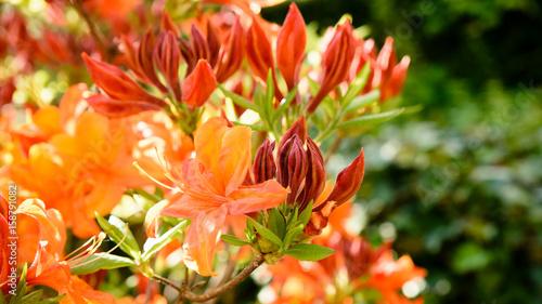 Plakat Pomarańczowe kwiaty rododendronów