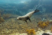 Seals Underwater Off Montague Island Australia