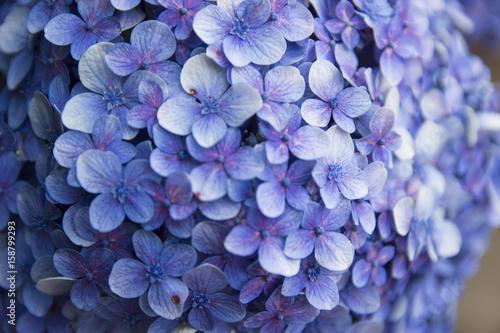 miniaturowe-niebieskie-kwiatki-w-zblizeniu