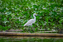 Lovely Shot Of Heron Bird Photographed In Its Natural Environment Walking Over Aquatic Floating Plants In Limoncocha National Park In The Amazon Rainforest In Ecuador