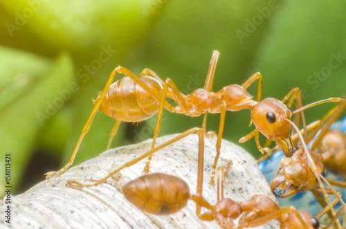 Plakat Czerwona mrówka w ogródzie