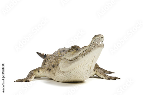 Fresh Water Crocodile isolated on a white background, with shadow Canvas Print