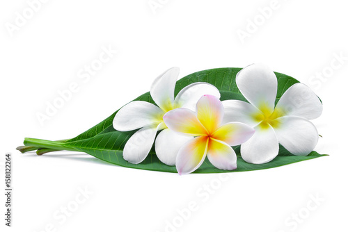 frangipani or plumeria (tropical flowers) with green leaves isolated on white background