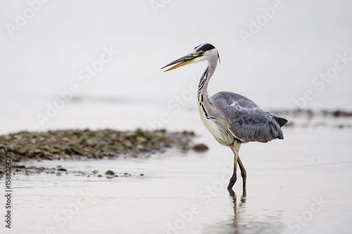 Grey Heron Ardea cinerea, fishing natural background Wallpaper Mural