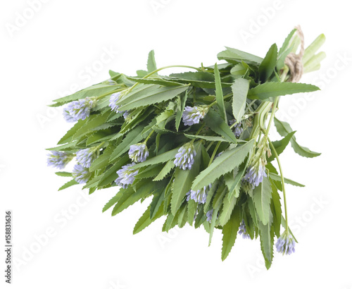 Fototapeta foenum graecum, Fenugreek, Methi, herb with  leaves, seeds used in spices and flavouring obraz