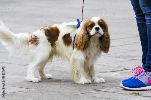 """Fotografie, Obraz  CAGLIARI, ITALIA -  MARZO 6, 2016: Sfilata canina """"a tutta zampa"""" presso la Exma"""