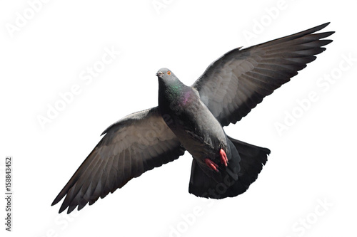 Leinwand Poster Flying Pigeon isolated on white background