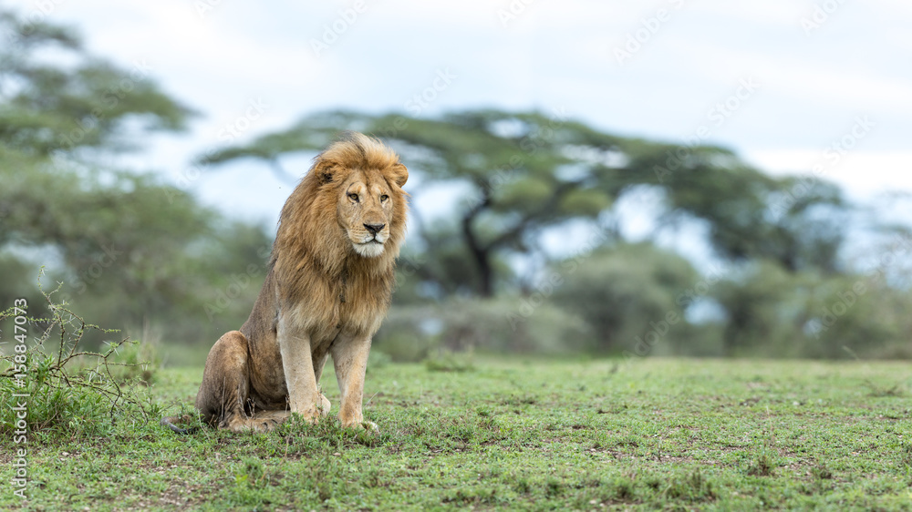 Fototapeta Adult Male Lion in the Ndutu Area of Tanzania