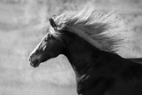 Horse portrait with long mane in motion. Black and white - 158848827
