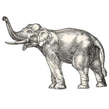 Vector Elephant Illustration