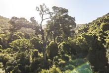 Yellowwood Tree In Nature's Va...