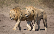 Two Male Lions, Botswana