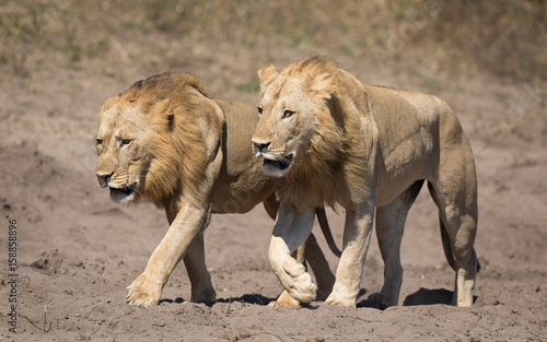 Two male Lions, Botswana