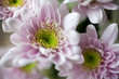 canvas print picture Chrysanthemum