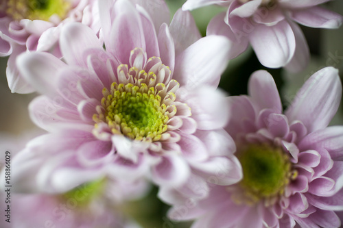 canvas print motiv - Kati Finell : Chrysanthemum