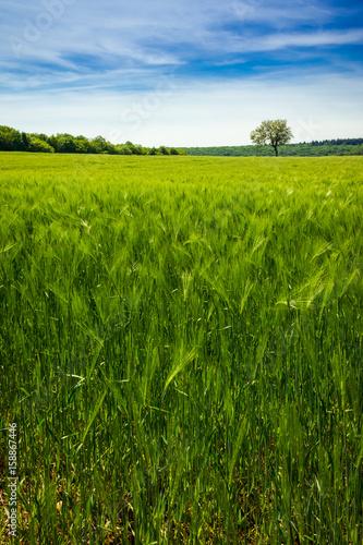 champ de blé Tablou Canvas