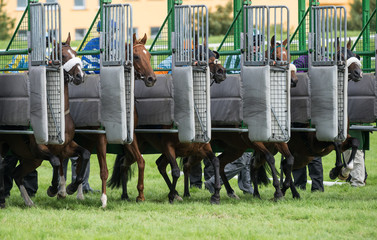 Racehorses sprinting out of starting gates